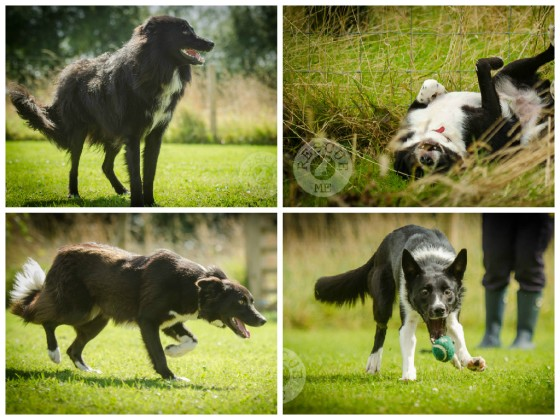 All photographs taken by me at Border Collie Trust - all dogs have now been rehoming :o)