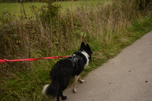border_collie_on_lead