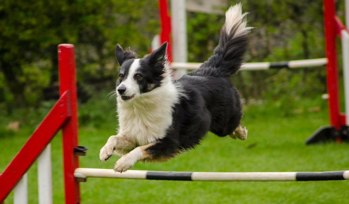 Exciting new changes to Kennel Club Agility