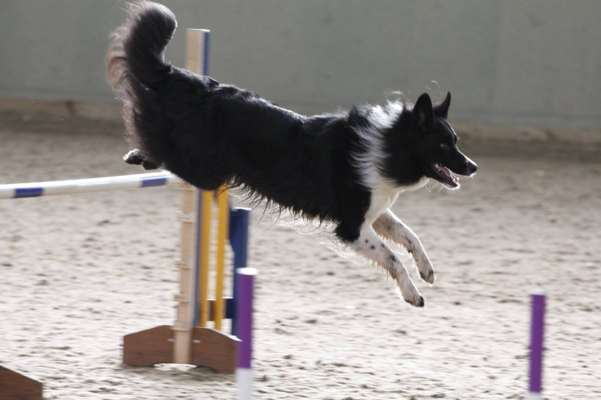How to get a fast agility dog